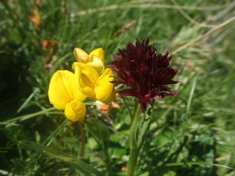 Gymnadenia ( Nigritella ) gabasiana ( Nigritelle de Gabas ) Dscf7411