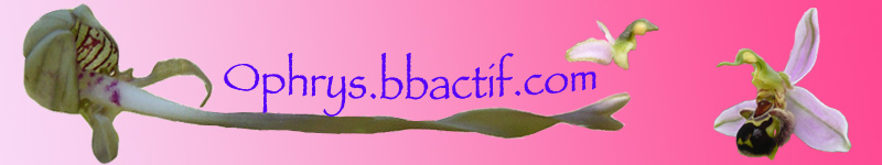 Je sollicite votre aide pour un choix de bandeau d'ophrys Frise_10