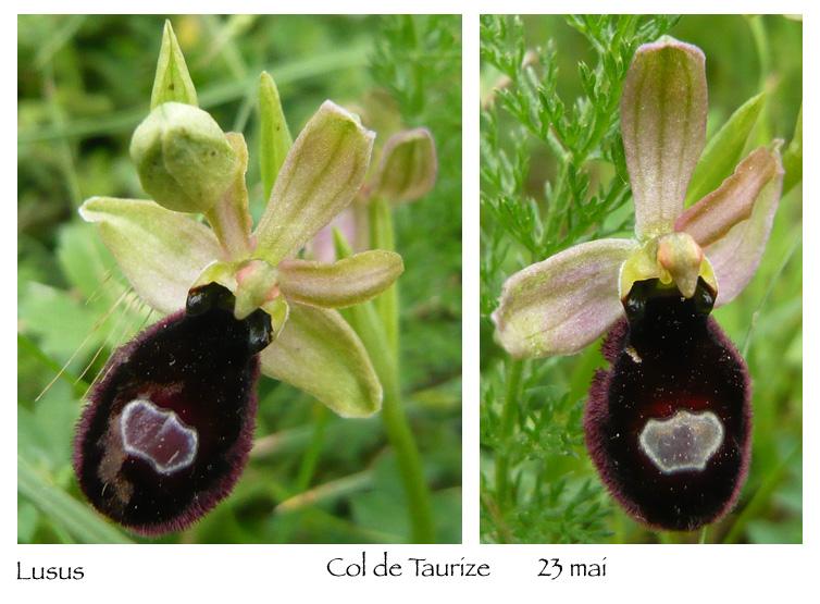 Ophrys magniflora Lusus10