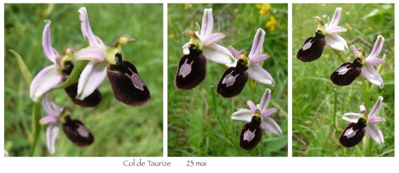 Ophrys magniflora Magni10