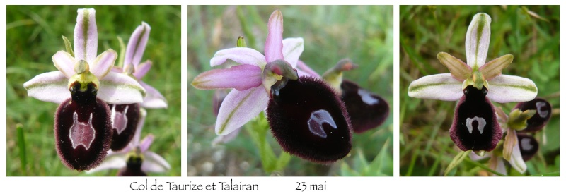 Ophrys magniflora Magni210