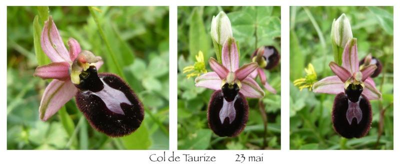 Ophrys magniflora Magnif11