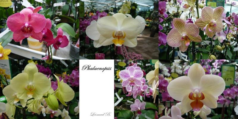 Fleurs de jardin et Phalaenopsis Orchid10