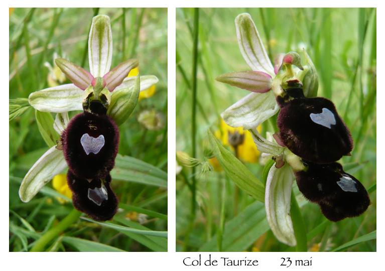 Ophrys magniflora Sans_t11