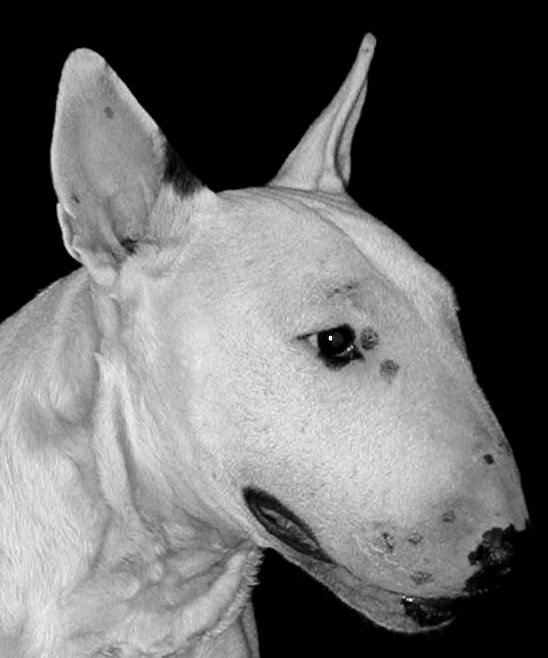 LE BULL TERRIER - Page 2 Zina111