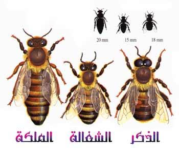 بحث عن النحل منسق وجاهز على صفحة ورد word التحميل على اكثر من سيرفر - صفحة 2 Image010
