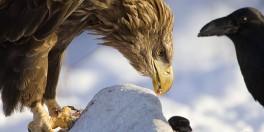 Shqiponja dhe korbi (Tregim islam)@ Shqipo10