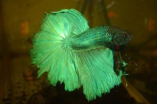 repro du 19 juillet femelle drygamxmale hm turquoise Dossie26