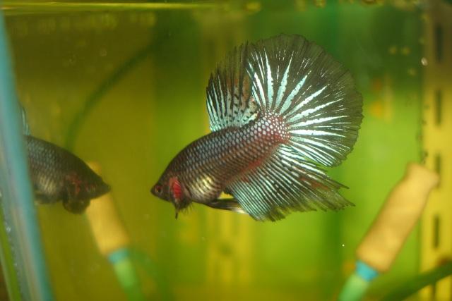 SD papillon rougex femelle bleu HM Dossie28