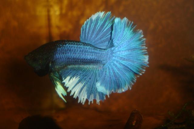SD papillon rougex femelle bleu HM Dossie30