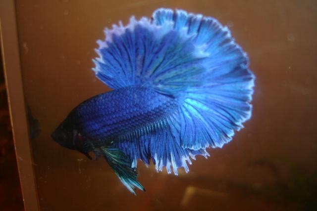 SD papillon rougex femelle bleu HM Dossie31