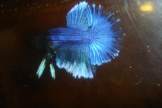 SD papillon rougex femelle bleu HM Dossie32
