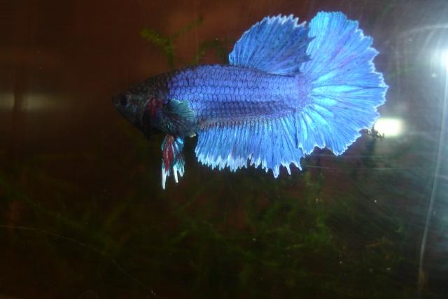 SD papillon rougex femelle bleu HM Dossie35