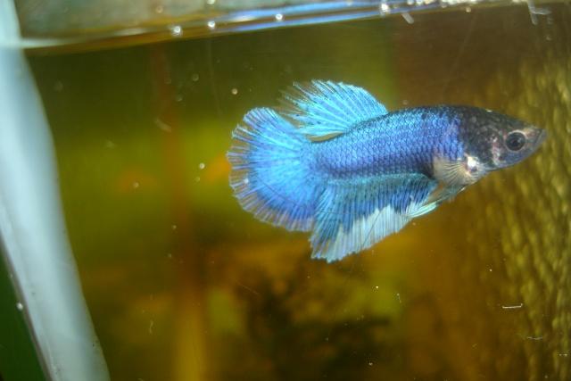 SD papillon rougex femelle bleu HM Dossie36