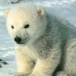 réchauffement climatique : animaux en danger !! Sans_t10