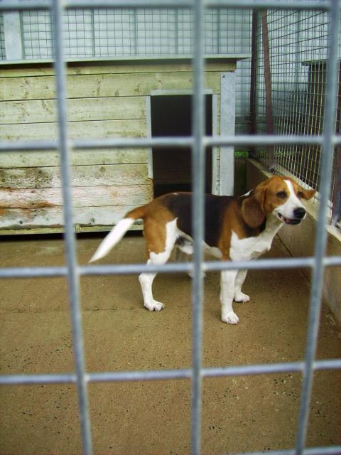 [URGENT] Beagle mâle, fourrière de Niort (79) Pict0815