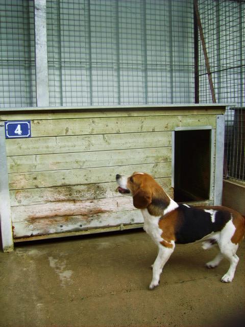 [URGENT] Beagle mâle, fourrière de Niort (79) Pict0816