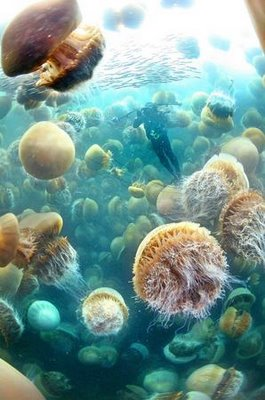 Ubur-ubur Raksasa Akan Invasi Jepang [Pic] Jellyf10