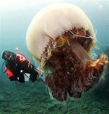 Ubur-ubur Raksasa Akan Invasi Jepang [Pic] Ubur-u10