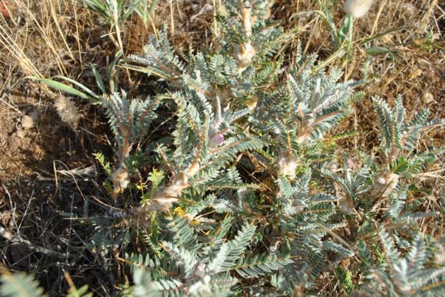 Και νέο ενδημικό φυτό ανακαλύπτεται στα Βάτικα. Dsc_1510