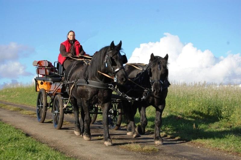 paire de chevaux merens cherche bon propriétaire Novemb10