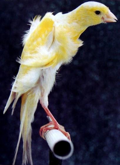 belles photos des canaris 36210