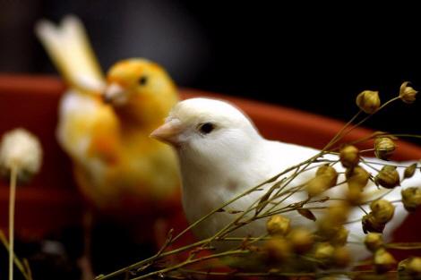 belles photos des canaris Canary10