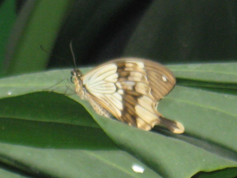 [Papilio dardanus]papillon à identifier 2 Img_0116
