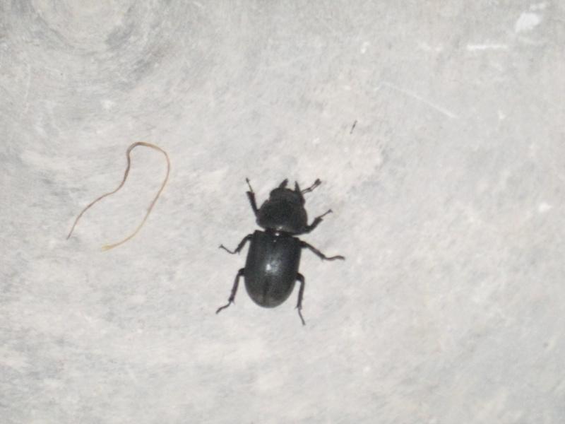 [Dorcus parallelipipedus]identification d'un scarabée Img_0516