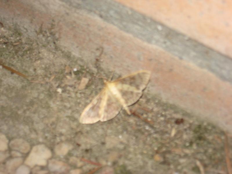 identification d'un papillon de nuit Img_0518