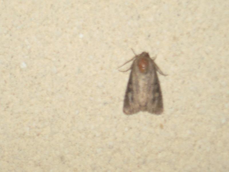 comment s'apelle se papillon de nuit? Img_0522