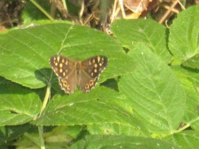 demande d'identification d'un papillon Img_0718