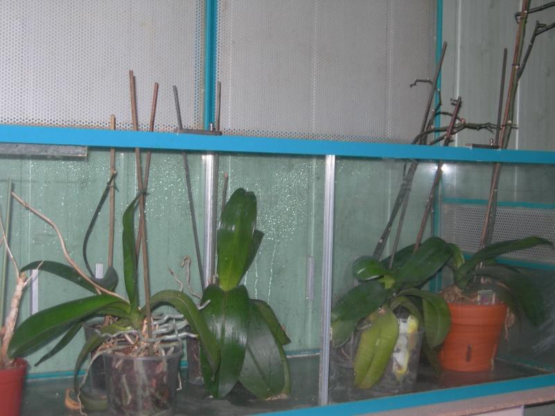 installation de mes orchidées pour cet hiver et nouvelle hampe pour un de mes phal Dscn0330