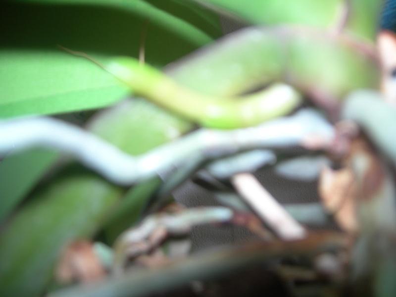 installation de mes orchidées pour cet hiver et nouvelle hampe pour un de mes phal Dscn0337