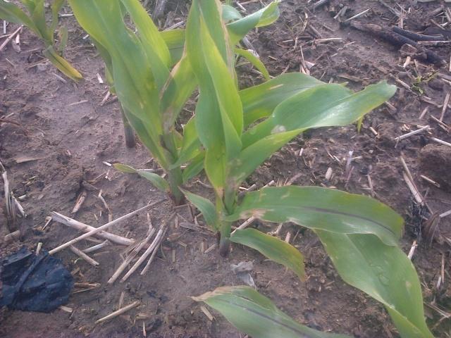 semis de maïs 2013  - Page 10 Img-2070