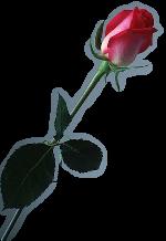 Fleurs: Les roses Mod_ar14