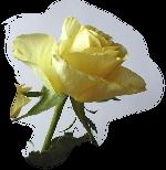 Fleurs: Les roses Mod_ar15