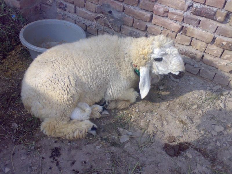 Sheeps>> KAJLA 01122010