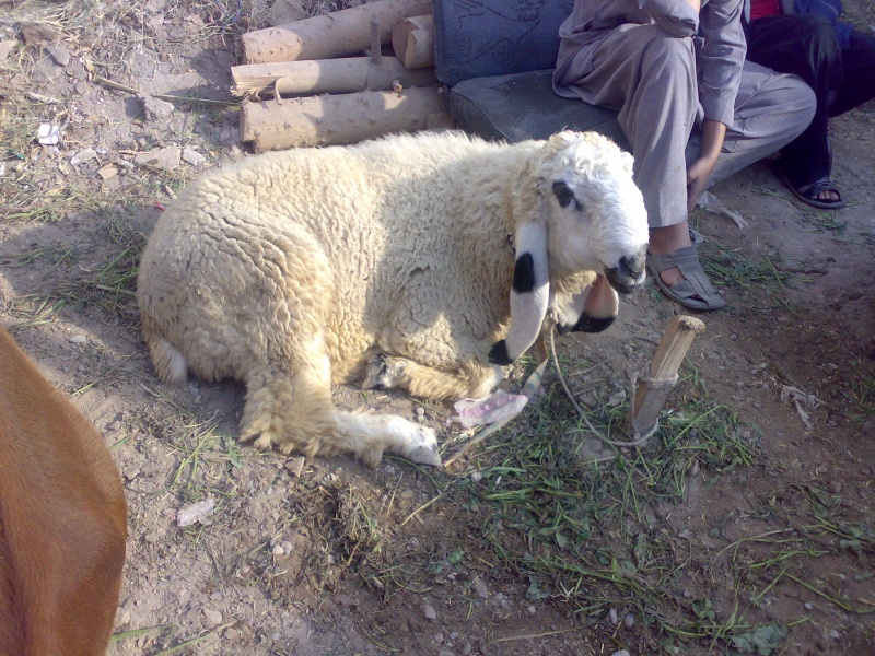 Sheeps>> KAJLA 01122011