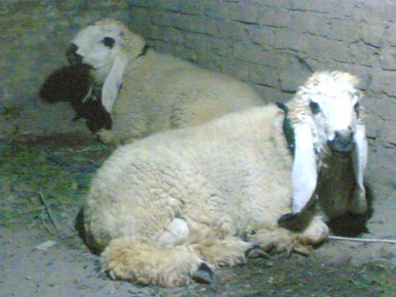 Sheeps>> KAJLA 26112010
