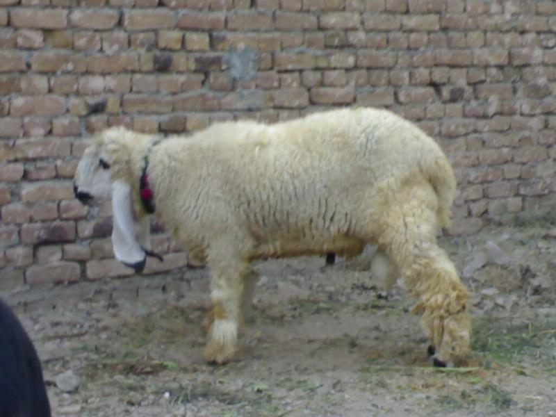 Sheeps>> KAJLA 510
