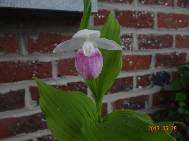 Floraison cypripedium reginae 00210