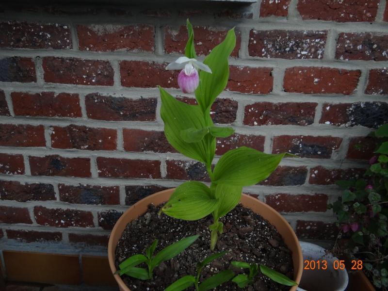 Floraison cypripedium reginae 00510