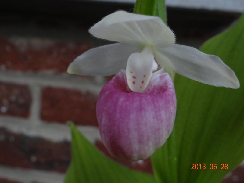 Floraison cypripedium reginae 01010