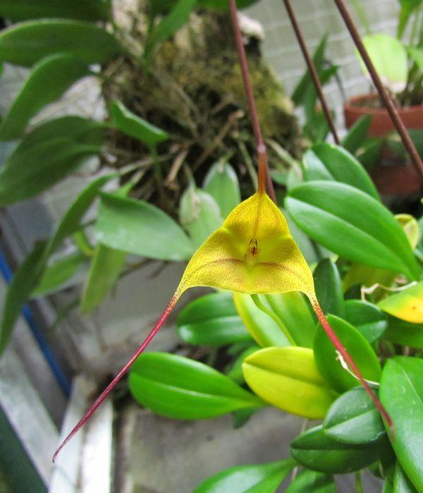 Masdevallia triangularis sp1 et sp2 Img_1310