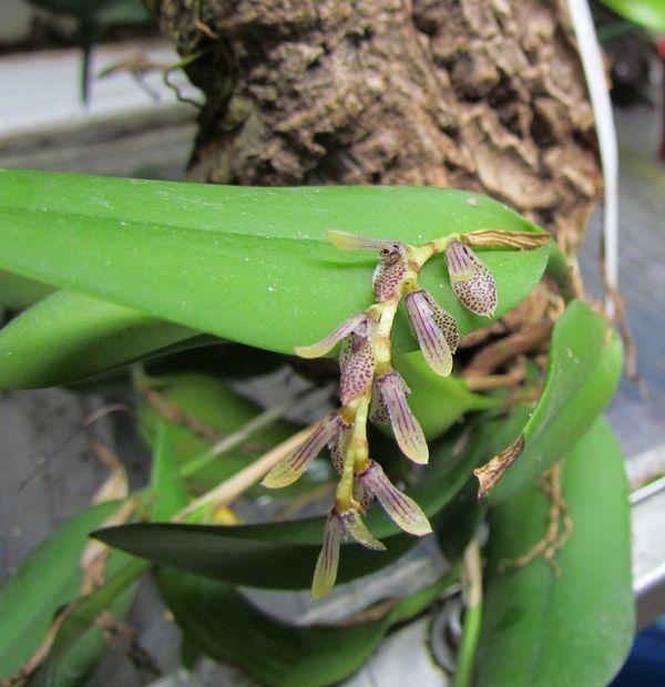 Acianthera pubescens (ex. Pleurothallis pubescens). Img_1515
