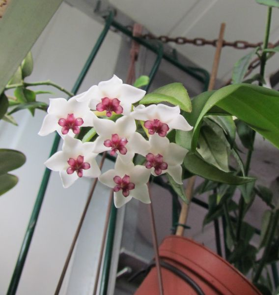 Hoya lanceolata subsp. bella Img_1520