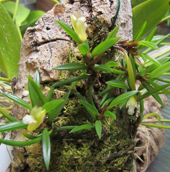 Christensonella uncata ( ex. Maxillaria uncata ) Img_1521