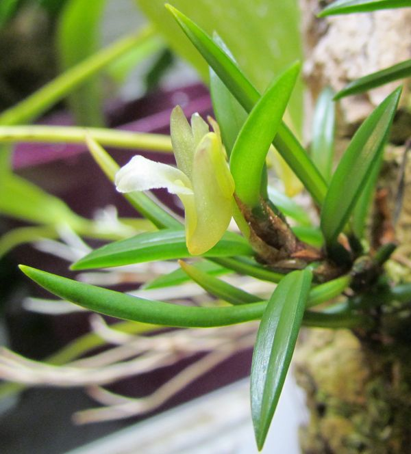 Christensonella uncata ( ex. Maxillaria uncata ) Img_1522
