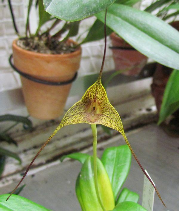 Masdevallia triangularis sp1 et sp2 Img_1617